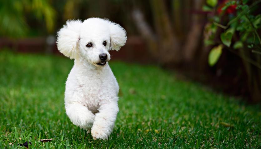 Cão-da-Raça-Poodle-5