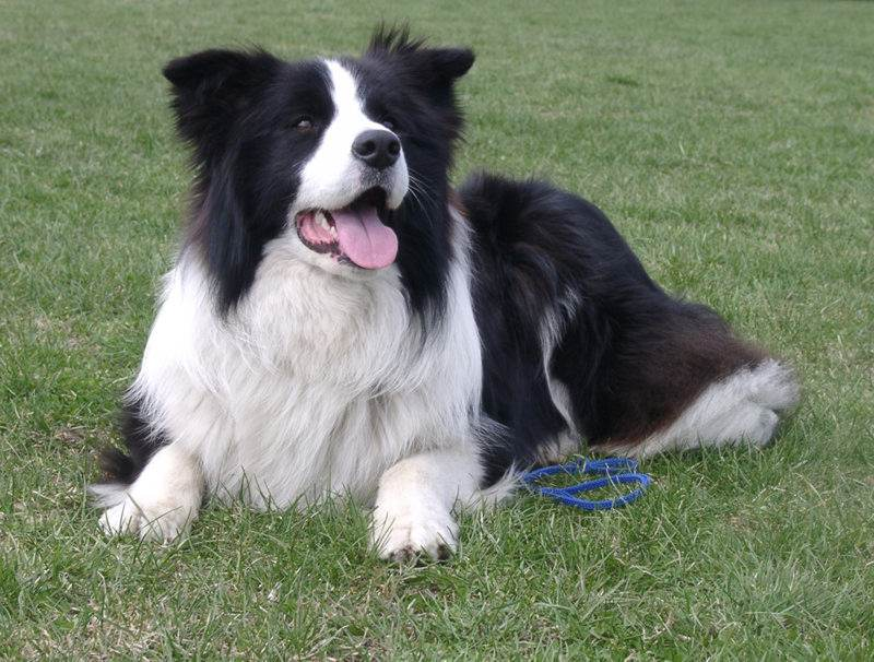 1. Border Collie