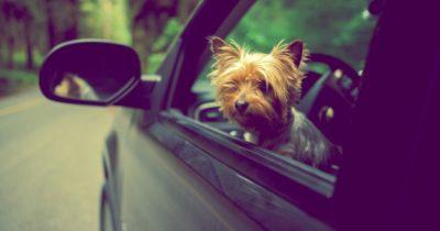 como levar cachorro no carro