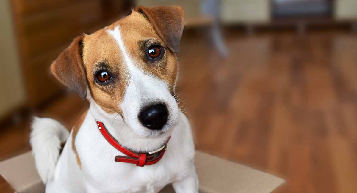jack-russell-terrier-long