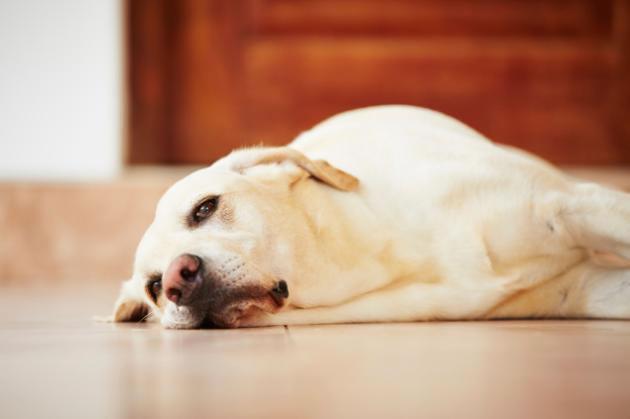 Cachorro doente, cachorro cansado, cachorro extressado