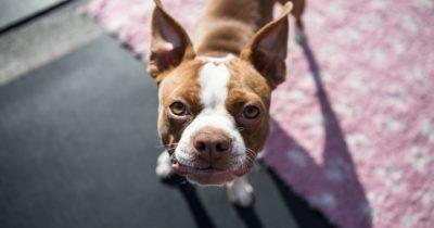 Bulldog olhando para cima