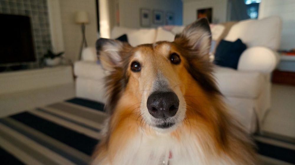 Collie olhando para a câmera