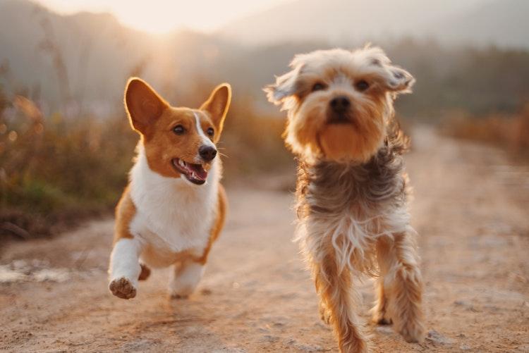 câncer de pele em cães