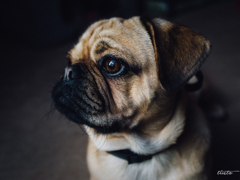 cachorro no local de trabalho