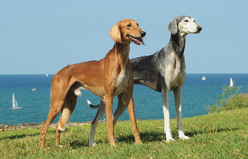 Egyptian-dog-saluki