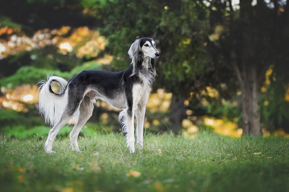 raça de cães