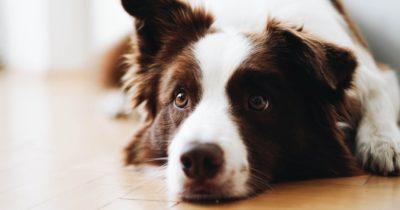 idade dos cachorros