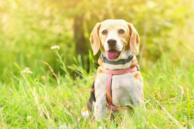 responsabilidades ao adotar um cão