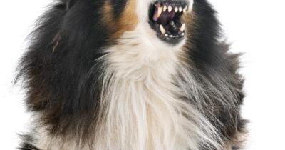 cão latindo