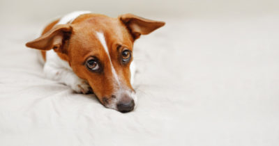 emoções do cachorro