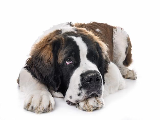 falta de ar em cães