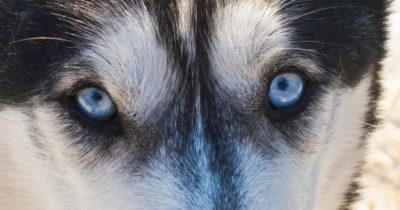 Casal com 110 cachorros no Ártico