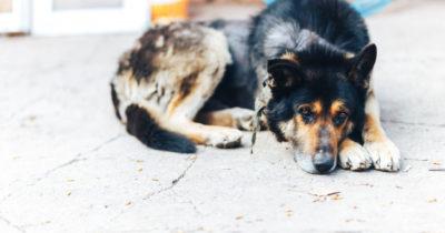 sarna em cachorros