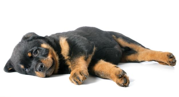 cachorro deitado - adestramento de cães