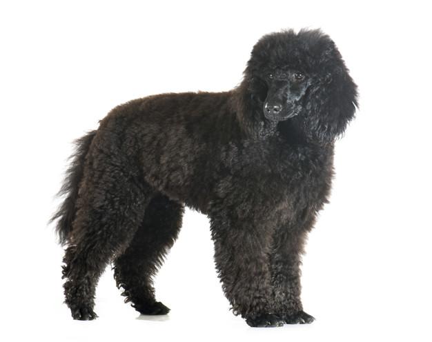 puppy poodle