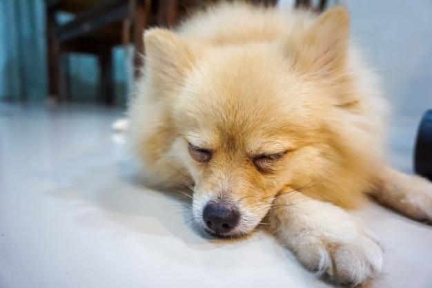 cachorro tremendo enquanto dorme