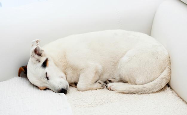 cachorro no sofá