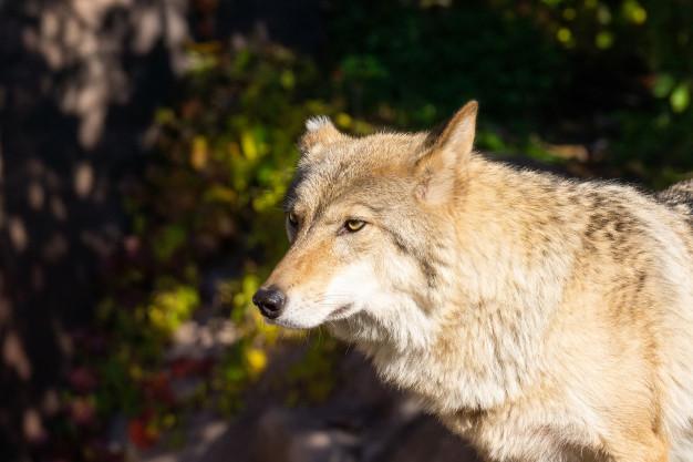 cães e lobos