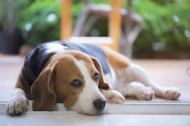 cão deitado