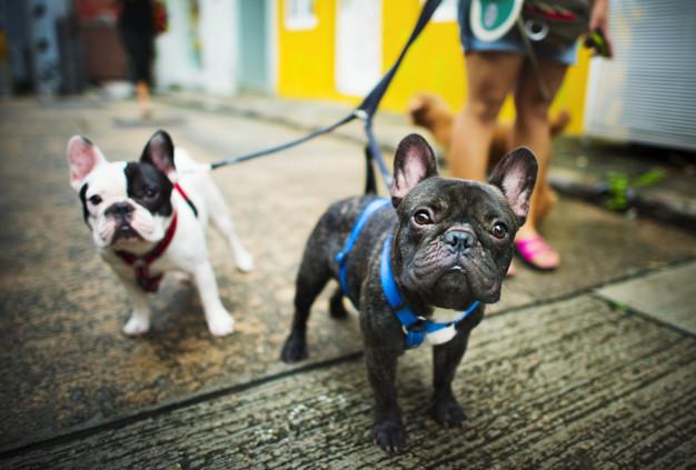 bulldogs passeando