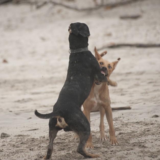 briga de cachorro