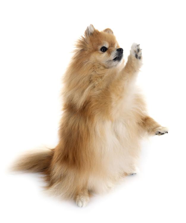 cão dando a patinha