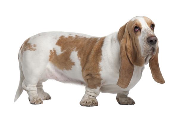 dicas de nome para basset hound