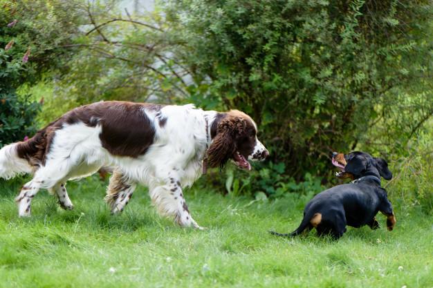 opções de nomes para cachorro Springer Spaniel