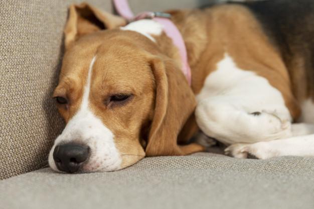 Como saber quando o cachorro está com febre