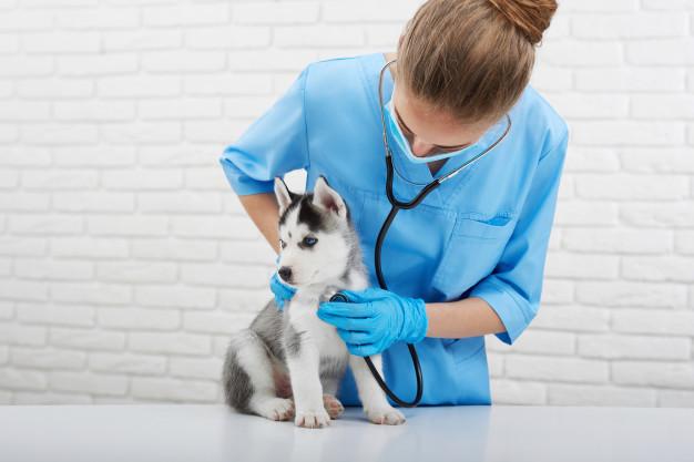 cuidados com filhote de husky