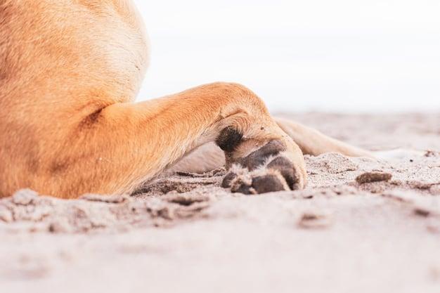 A pata do cachorro está inchada