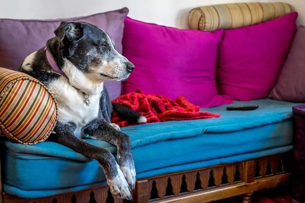 ensinar um cão idoso a fazer as necessidades no lugar certo